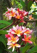 Fragrant Flowers Prints - Plumeria - Pink and Orange Print by Kerri Ligatich