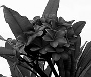 Mary Deal - Plumeria Cluster in Black and White