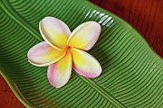 Ceramics Framed Prints - Plumeria Flower On Ceramic Leaf Framed Print by Laszlo Podor Photography