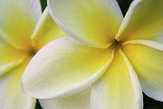 Julia Hiebaum Metal Prints - Plumeria Flowers Metal Print by Julia Hiebaum