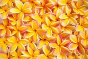 Bed Spread Photos - Plumeria Flowers by Kyle Rothenborg - Printscapes