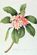 Plumeria Paintings - Plumeria by Georg Dionysius Ehret
