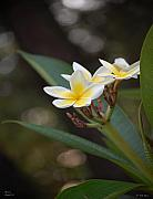 Plumeria Prints - Plumeria II Print by Robert Meanor