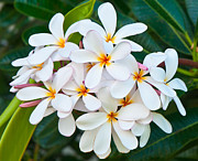 Vector Space Photos - Plumeria by Jim Chamberlain