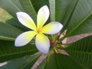 Plumeria Print by Larry Bishop