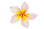 Mo Posters - Plumeria or Leelawadee Poster by Atiketta Sangasaeng