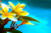 Water Flower Posters - Plumeria Water Poster by Kelly Wade