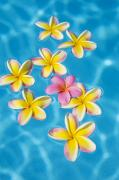 Various Posters - Plumerias in Pool Poster by Ron Dahlquist - Printscapes