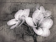 Fine Art Greeting Cards Art - Plumiera in Black and White by James Steele