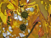 Yellow Leaves Prints - Pods Print by Liz Vernand