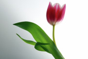 Artistic Photo Originals - Poetic Tulip. by Terence Davis