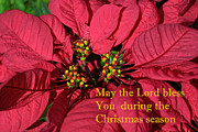 Christmas Greeting Prints - Poinsetta for Christmas Print by Linda Phelps
