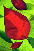 Noche Framed Prints - Poinsettia - D007347 Framed Print by Daniel Dempster
