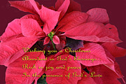 Green Burgandy Prints - Poinsettia Christmas card 5 Print by Linda Phelps