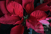 Poinsettia Leaf Posters - Poinsettia Euphorbia Pulcherrima Poster by Photo Researchers