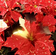 Red Flame Framed Prints - Poinsettia Glow Framed Print by Mindy Newman
