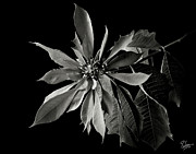 Flower Photos Posters - Poinsettia in Black and White Poster by Endre Balogh