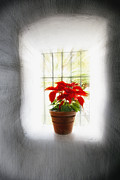 Morning Backlight Prints - Poinsettia in Window light Print by George Oze