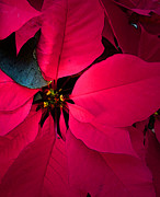 Digital Manipulation Art Photos - Poinsettia by Pat Exum