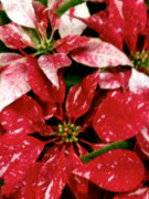 Change To The Cold Prints - Poinsettia Red White Print by Debra     Vatalaro