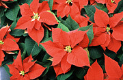 Winter Flowers Prints - Poinsettia Varieties Print by Science Source