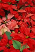Poinsettia Leaf Posters - Poinsettias Poster by Greg Vaughn - Printscapes