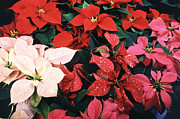 Winter Flowers Prints - Poinsettias Print by Science Source