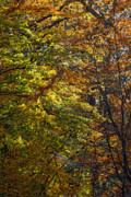 Fall Leaves Photos - Points of Light by Robert Ullmann