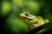 Tree Frog Art - Poised by MarkBridger