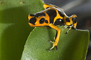 Animalsandearth Photos - Poison Dart Frog Displays Striking by San Diego Zoo