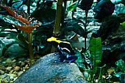 Nashville Tennessee Prints - Poison Dart Frog Poised for Leap Print by Douglas Barnett