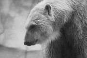 Hovind Prints - Polar Bear 7 Print by Scott Hovind