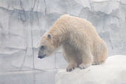 Hovind Posters - Polar Bear 8 Poster by Scott Hovind