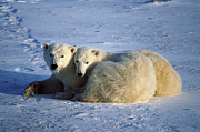 Polar Bear (ursus Maritimus) Posters - Polar Bear and Cub Poster by Francois Gohier and Photo Researchers