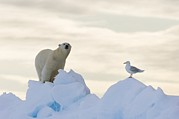 Polar Bear (ursus Maritimus) Posters - Polar Bear And Seagull Poster by Louise Murray