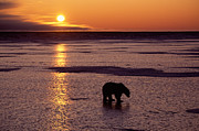 Polar Bear At Sunset Print by Francois Gohier and Photo Researchers