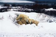 Polar Animals Prints - Polar Bear Cubs, Churchill, Manitoba Print by Mike Grandmailson
