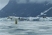Polar Bear (ursus Maritimus) Posters - Polar Bear Poster by Doug Allan