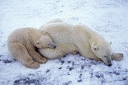 Polar Bear (ursus Maritimus) Prints - Polar Bear Print by Francois Gohier and Photo Researchers
