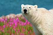 Nanook Art - Polar Bear in Fireweed by Dennis Fast
