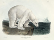 Ornithology Painting Posters - Polar Bear Poster by John James Audubon