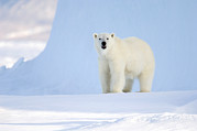 Ursus Maritimus Prints - Polar Bear Print by Louise Murray