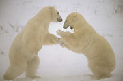 Polar Animals Prints - Polar Bear Males Sparring Churchill Print by Flip Nicklin