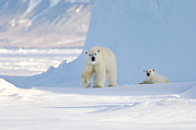 Ursus Maritimus Metal Prints - Polar Bear Mother And Cub Metal Print by Louise Murray