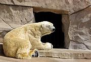 Zoo Animals Photos - Polar Bear Prayers by Linda Mishler