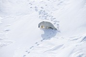 Polar Bear (ursus Maritimus) Posters - Polar Bear Poster by Ria Novosti