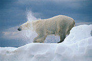 Shaking Prints - Polar Bear Shaking Wager Bay Canada Print by Flip Nicklin