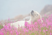 Nanook Art - Polar Bear Snooze by Dennis Fast