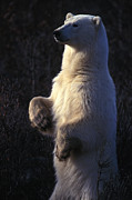 Polar Bear (ursus Maritimus) Posters - Polar Bear Stands On Hind Legs Poster by Nick Norman