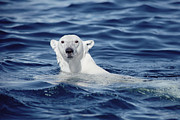 Marine Mammal Prints - Polar Bear Swimming Baffin Island Canada Print by Flip Nicklin